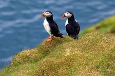 Puffin pals by Rozanne Hakala, via Flickr
