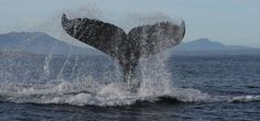 Whale Watching, in & around Cape Town. Watching from the shore or do a boat trip. June to November (peaking July to October) Whale Watching, Cape Town, South Africa, November, Coast, The Incredibles, November Born