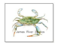 Crab Fine Art Print created from our Original Watercolor Painting.  Available in 5x7, 8x10, 11x14, 13x19, & 16x20 inches in horizontal (landscape) orientation. Please select the size you would like. The James River Studios Watermark on the picture will not appear on your print.  Printed with archival UltraChrome pigment inks on Velvet Fine Art Paper that is heavyweight, cotton fiber and acid free. The prints high quality inks and velvet fine art paper look and feel like the original…