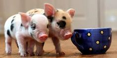 teacup pigs - how you can not love them  http://www.teacuppig.us/States.html