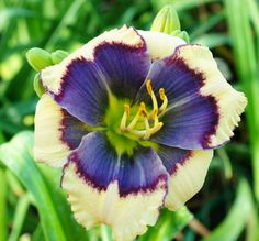 the Lily Auction - The Fun Daylily Marketplace