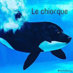 Le #chiorque !!!! Suite des #animomix ;) pas mal non ? #animalbuzzz