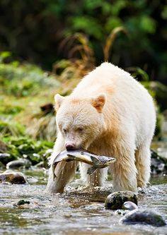 """Kermode Bear """"Spirit Bear"""", Great Bear Rain Forest in British Columbia, Canada"""
