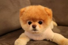 Boo, the gorgeous Pomeranian shot to fame in 2009 when his own Facebook Page was launched by his US owner.