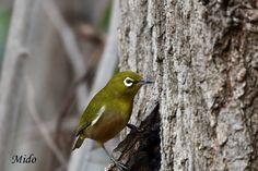 "Mido🐥 on Twitter: ""Japanese White-eye #birds #wildlife #japan… "" White Eyes, Wildlife, Birds, Japanese, Shit Happens, Twitter, Japanese Language, Bird"