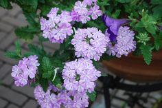 Lanai verbena lavender star is my favorite trailing verbena