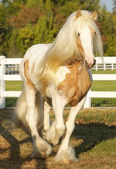 ☀Dragon Fire, Gypsy stallion by Jenny's site