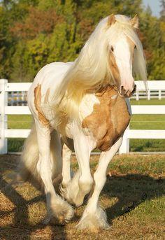 ☀Dragon Fire, Gypsy stallion by Jenny's site