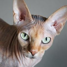 Sphynx. They are so gorgeous! I am obsessed I can't wait to have one some day!!!