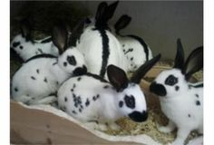 look at all the baby streaks House Rabbit, Rabbit Baby, White Bunnies, Cute Bunny, English Spot Rabbit, Baby Harp Seal, Rabbit Information, Black And White Rabbit, Animals And Pets