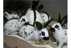 look at all the baby streaks White Bunnies, White Rabbits, Cute Bunny, Bunny Rabbits, Rabbit Baby, House Rabbit, English Spot Rabbit, Rabbit Information, Baby Harp Seal