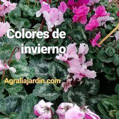 Ciclamen en Agralia del Principado. #plantastemporada #asturias #ciclamen #coloreatujardin Garden Centre, Seasons, Plants