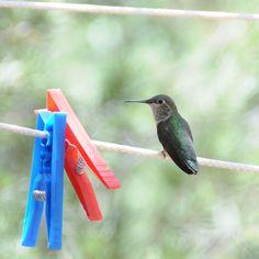 hummingbird :)