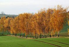 Birkenallee im Novemberlicht - Waldeck - myheimat.de