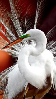 Beautiful egret at the Wakodahatchee Wetlands of Delray Beach, Florida • photo: Gretchen Kaplan on National Geographic