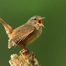 Wren with something to say