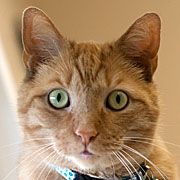MICHAEL ANGELO is an adoptable Domestic Short Hair-Orange Cat in Grand Rapids, MI.  When Wyoming resident Khristina Mathers came into the vet's office on August 29th, it was with this stunning stray f...