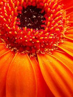 Orange Gerbera Dust by luckynugget