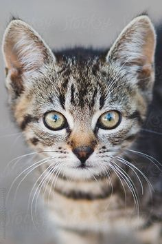 Best of Tabby Cats pictures: Cute Cats And Kittens, I Love Cats, Kittens Cutest, Pretty Cats, Beautiful Cats, Cat Facts, Domestic Cat, Cat Breeds, Cat Life