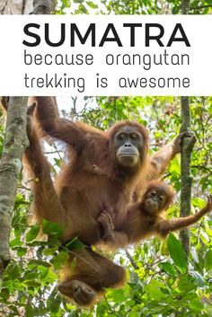 Best place for orangutan trekking in Sumatra, Indonesia for an authentic experience