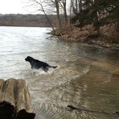 Flat-Coated Retriever taking a dip.