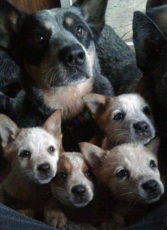 So stinking cute! Lol he is blue healer pure bred. Cute Dogs And Puppies, I Love Dogs, Pet Dogs, Doggies, Cute Baby Animals, Animals And Pets, Funny Animals, Beautiful Dogs, Animals Beautiful
