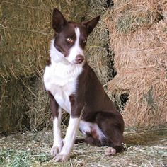 Whippet Border Collie Mix Greyhound Border Collie Mix Be A 45 Lb Border Collie X Looks
