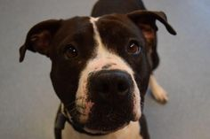 STATUS UNKNOWN - Rita - URGENT - ISLIP ANIMAL SHELTER AND ADOPT-A-PET CENTER in Bay Shore, NY - ADOPT OR FOSTER - 5 year old Female Pit Bull Terrier - She's a friendly, happy girl, who enjoys squeaky toys. She would probably do best in a home without cats.
