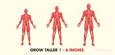 A guide to the fastest and easiest ways to gain height naturally. It includes tips and specific exercises. Read on to find out how to grow 3-6 inches!