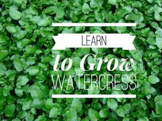 how to grow watercress