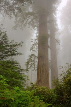 Redwood Morning Mood by Vincent James on ~ Redwood National Park - Northern California Coast* . know and love the redwood forrest on foggy days . Beautiful World, Beautiful Places, California Coast, Northern California, Walk In The Woods, Oh The Places You'll Go, Survival, The Great Outdoors, Mists