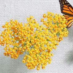 21 best plants for pollinators   Yarrow   Sunset.com