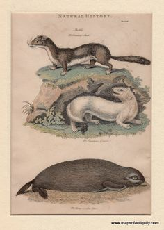 Maps of Antiquity Antique Prints Ermine and Otter The only way the illustrator in 1812 could have made this better was if he or she had two otters holding paws!