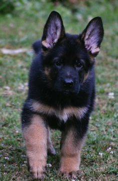 German Shepard Pup - Wait For Me - by IxAmxUnknown
