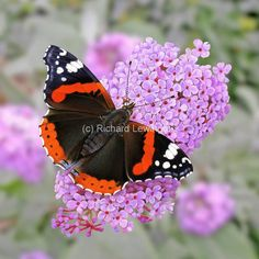 Ecosia - the search engine that plants trees Big Butterfly, Butterfly Images, British Wildlife, Wildlife Art, Butterfly Species, Bugs And Insects, Woman Painting, Beautiful Butterflies, Fresh Flowers
