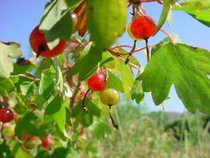 Ribes aureum (Golden Currant)