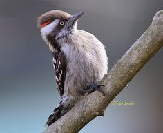Brown-capped Pygmy Woodpecker