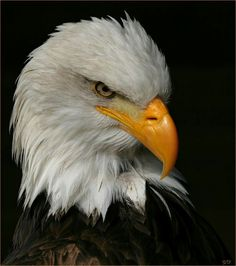 Eagle Face, Bald Eagle, Angry Birds, Pet Birds, Beautiful Creatures, Animals, King, Wings, Animales