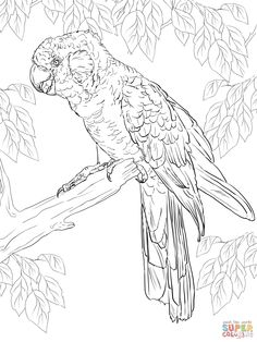 Carnabys Black Cockatoo Coloring Page From Cockatoos Category Select 30423 Printable Crafts Of Cartoons Nature Animals Bible And Many More