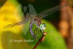 dragonfly with curling tail-30-3.2; 5x7 print | seryphstudios - Photography on ArtFire