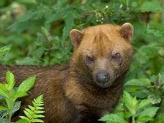 Bush Dog is on Red List of Endangered Species