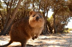World Falls in Love with Quokka, Australia's Most Adorable Animal - My Modern Met