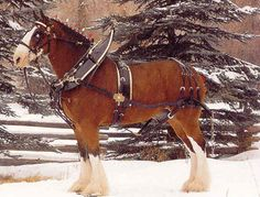 The Clydesdale is a breed of draught horse derived from the farm horses of Clydesdale, Scotland, and named after that region. Although originally one of the smaller breeds of draught horses, it is now a tall breed. Beautiful Creatures, Animals Beautiful, Horse Harness, Shire Horse, Clydesdale Horses, Big Horses, Most Beautiful Horses, Majestic Horse, Draft Horses
