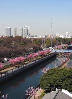 Kawazu-zakura, a precocious cherry breed, are in full bloom in front of Tokyo Sky Tree.