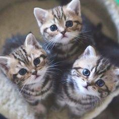 Triplet kitties.  Nothing cuter.