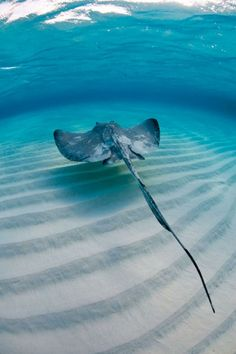 A stingray skims over a sand flat off Grand Cayman. Photograph by Alex Mustard