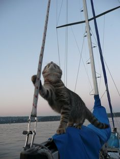 Photos of cats on boats exploring the oceans, ports and waters of the world. Cats make great sailors. Photos of cats on boats and on the water. Crazy Cat Lady, Crazy Cats, Summer Safety, Sailboat Living, Adventure Cat, Buy A Boat, King Of The World, Cat Facts, Jolie Photo