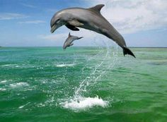 Momma and baby dolphin playing