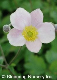 "Anemone 'September Charm' has beautiful 2-3"" silvery pink flowers with darker rose shadings and yellow stamen centers appear on long, wiry but graceful, branching stems over attractive green foliage. Blooms summer to fall. Deer resistant. Nice cut flowers for a long period."