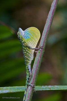 Anolis gemmosus by Primeval Nature, via Flickr  Andean Anole (now THAT'S a dewlap!!)